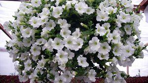 Превью обои петуния, цветы, белые, шар, много