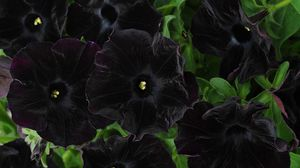 Превью обои петуния, цветы, черная, крупный план