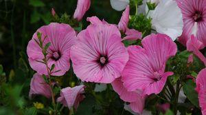 Превью обои петуния, цветы, капли, зелень, свежесть