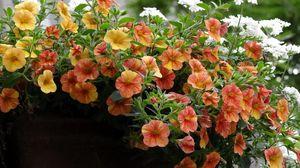 Превью обои петуния, цветы, кашпо, красиво