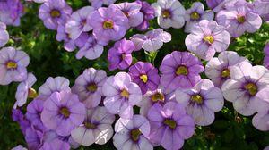 Превью обои петуния, цветы, клумба, резкость