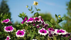 Превью обои петуния, цветы, клумба, солнечно, небо, размытость