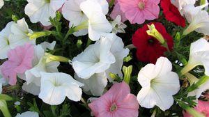 Превью обои петуния, цветы, разноцветные, крупный план