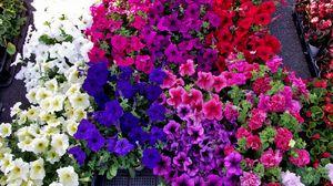 Превью обои петуния, цветы, яркая, красочная