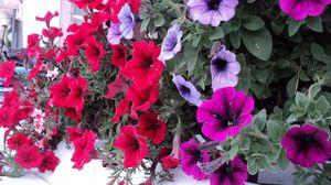 Превью обои петуния, цветы, яркие, красочные, листья