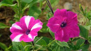Превью обои петуния, цветы, зелень, крупный план, резкость
