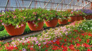 Превью обои петуния, калихобрия, цветы, кашпо, много, оранжерея