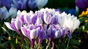 Превью обои подснежники, цветы, растение, лепестки