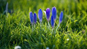 Превью обои подснежники, цветы, растение, весна