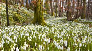 Превью обои подснежники, цветы, трава, деревья, весна