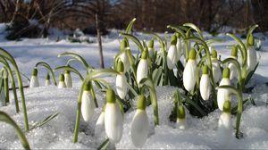 Превью обои подснежники, весна, цветы, тепло, первоцветы, настроение, проталины