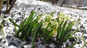 Превью обои подснежники, зима, снег, цветы