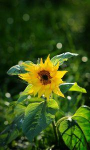 Превью обои подсолнух, лепестки, желтый, растение, макро
