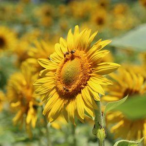 Превью обои подсолнух, пчелы, опыление, желтый, размытость