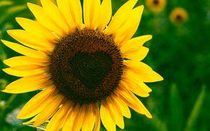 Превью обои подсолнух, сердце, цветение, цветок