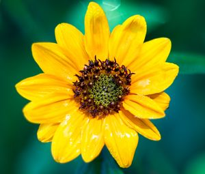 Превью обои подсолнух, цветок, лепестки, желтый, мокрый, макро