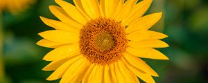 Превью обои подсолнух, цветок, лепестки, мокрый, желтый