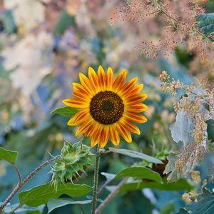 Превью обои подсолнух, цветок, растение, макро