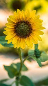 Превью обои подсолнух, цветок, желтый, размытость