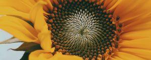 Превью обои подсолнух, цветок, желтый, крупный план, цветение