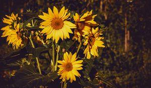 Превью обои подсолнух, цветы, лето, желтый