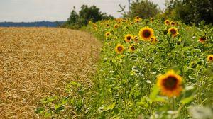 Превью обои подсолнухи, колосья, лето, поля, граница