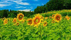 Превью обои подсолнухи, поле, небо, деревья, зелень, лето