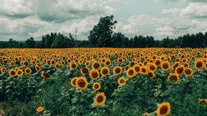 Превью обои подсолнухи, поле, цветы, цветение, лето, облака
