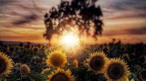 Превью обои подсолнухи, цветы, лепестки, лучи, солнце