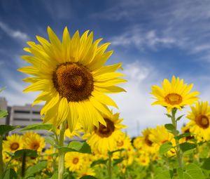 Превью обои подсолнухи, цветы, лепестки, поле, желтый