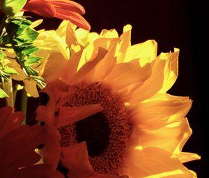 Превью обои подсолнухи, цветы, лепестки, желтый, макро
