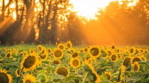 Превью обои подсолнухи, цветы, поле, солнце, лучи, пейзаж
