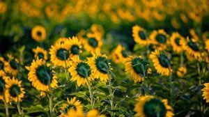 Превью обои подсолнухи, цветы, поле, желтый, зеленый