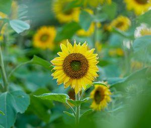 Превью обои подсолнухи, цветы, растения, листья, макро