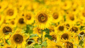 Превью обои подсолнухи, цветы, желтый, поле, цветение