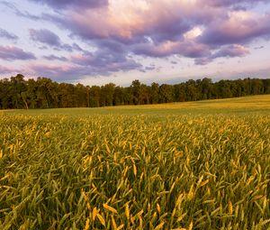 Превью обои поле, колосья, закат, пейзаж, природа