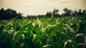 Превью обои поле, кукуруза, лето, вечер