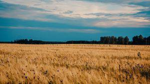 Превью обои поле, пшеница, васильки, цветы, природа