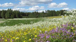 Превью обои поляна, цветы, лютики, лето, тысячелистник, лес, ели