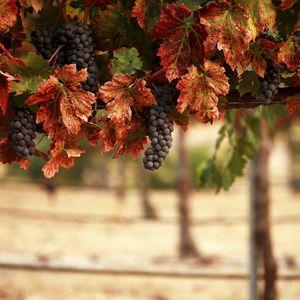Превью обои природа, листья, blur, виноградник, гроздья, пейзаж