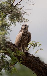 Превью обои сокол, птица, наблюдение, дерево, дикая природа