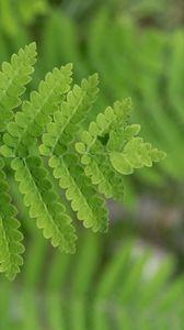 Превью обои растение, папоротник, листок, макро, зеленый