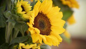 Превью обои растение, подсолнух, цветок, лепестки, желтый, макро