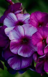 Превью обои растение, цветы, лепестки, макро, фиолетовый