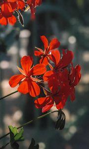 Превью обои растение, цветы, лепестки, красный, макро