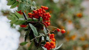 Превью обои рябина, ягоды, грона, ветка, растение