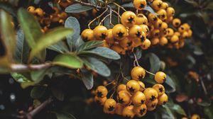 Превью обои рябина, ягоды, гроздь, макро, желтый