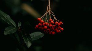 Превью обои рябина, ягоды, гроздь, красный, растение, макро