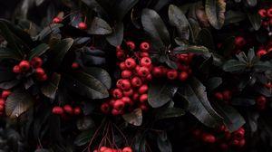 Превью обои рябина, ягоды, красный, растение, макро