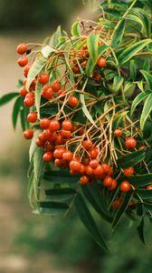 Превью обои рябина, ягоды, листья, ветка, макро